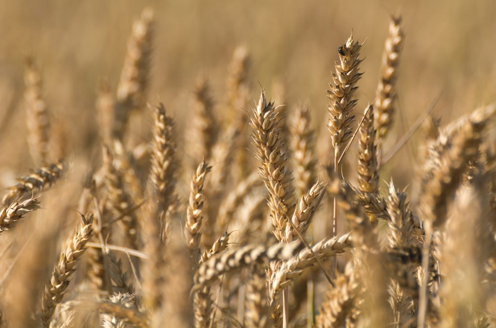 A field of golden wheat.