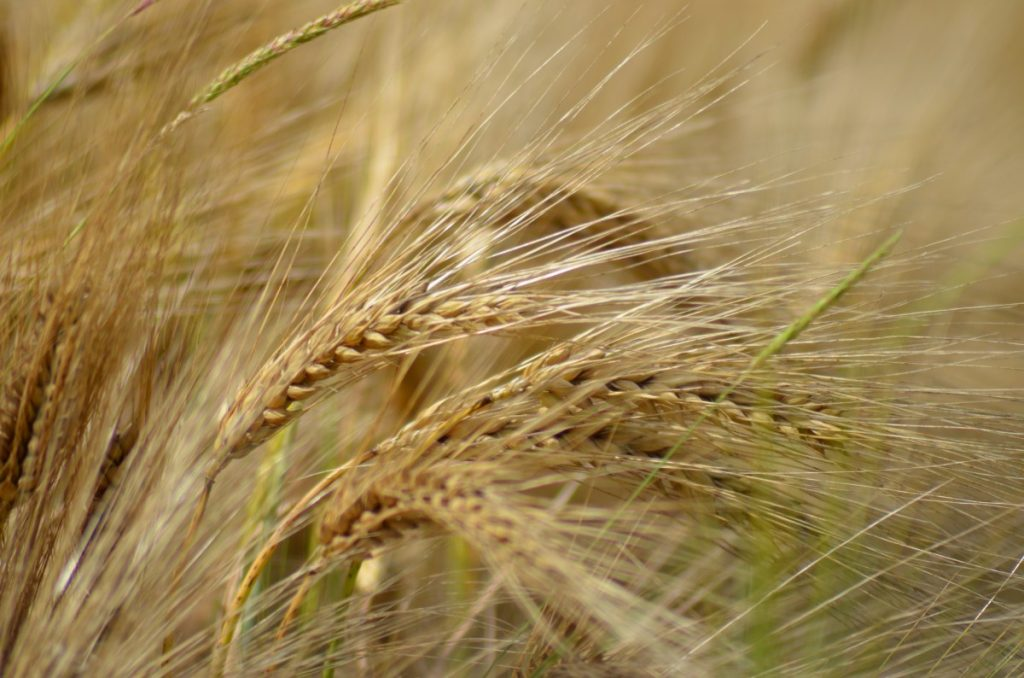 A field of barley